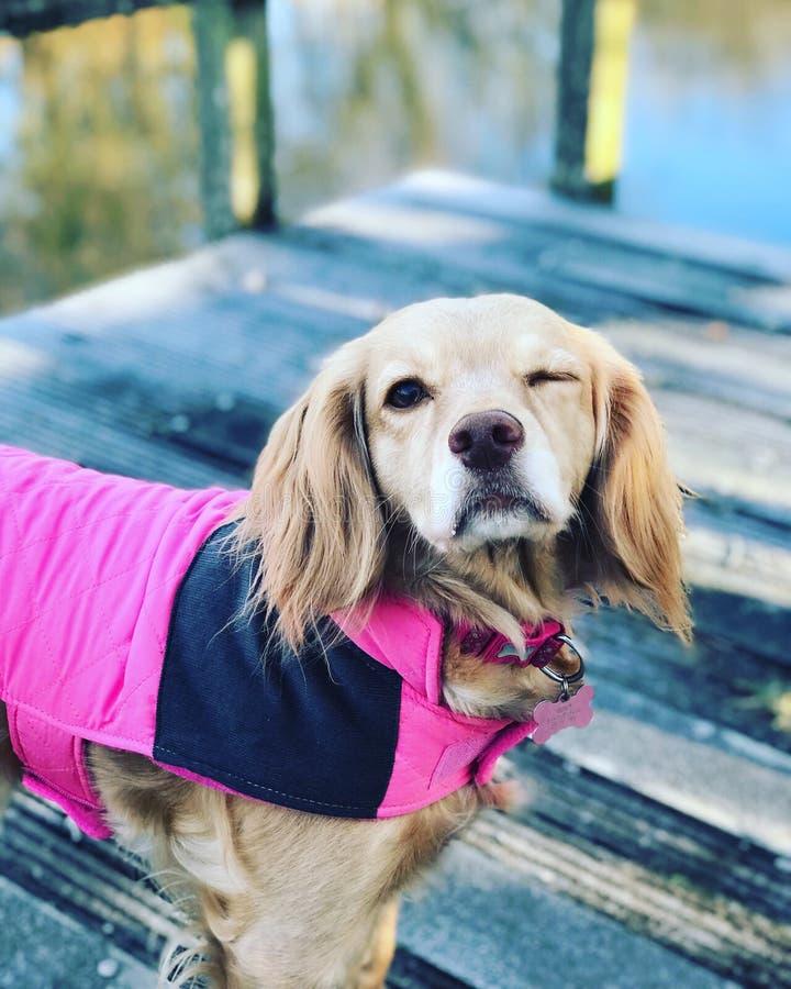 Работая подмигивать собаки spaniel кокерспаниеля стоковые изображения rf