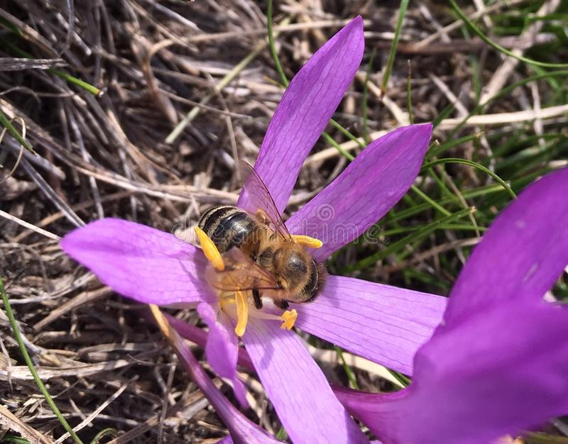 Работая пчела стоковое изображение