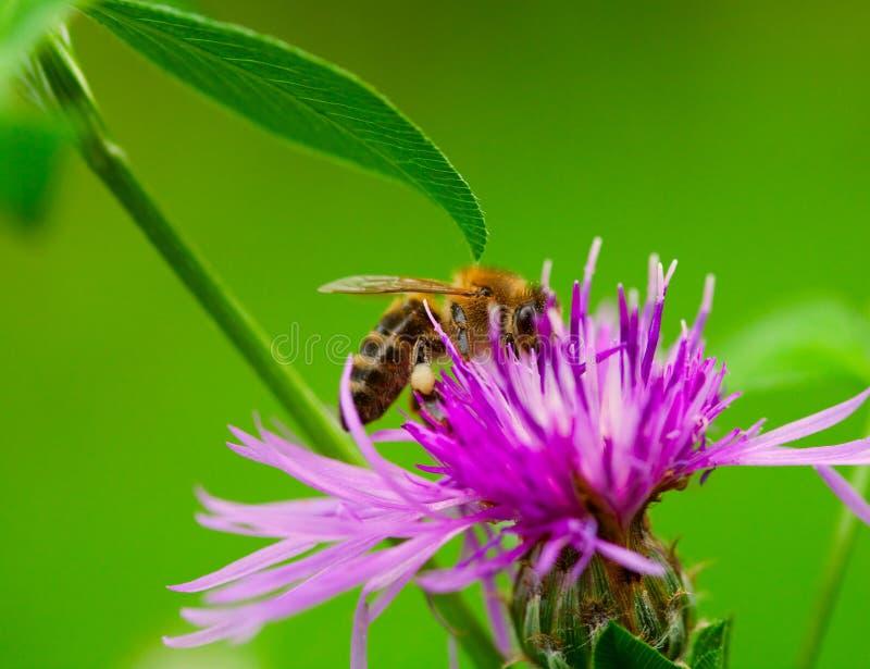 работа пчелы стоковое фото rf