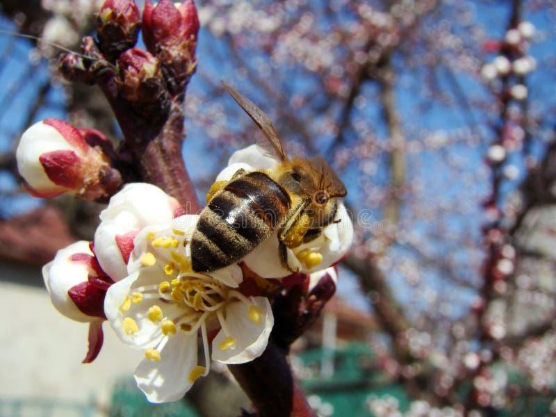 работа пчелы стоковые изображения