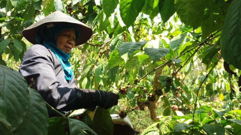 Работники подборщика кофе стоковое фото