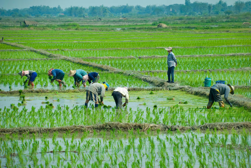 работники риса стоковое фото