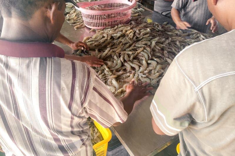 Работники сортируя креветок стоковая фотография rf