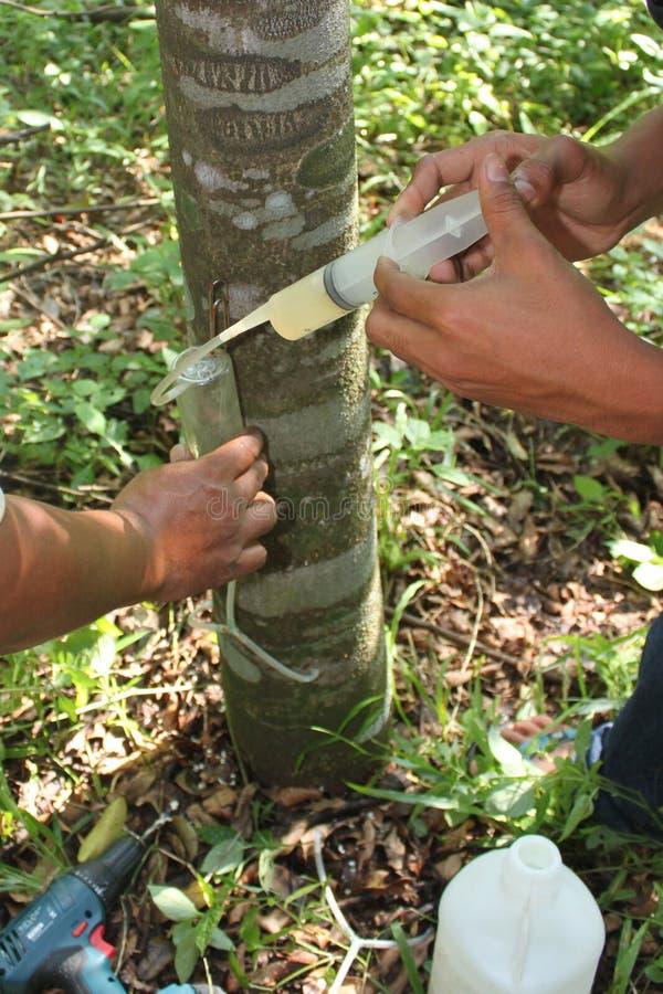 Работник впрыскивая грибок к дереву Aquilaria стоковое фото