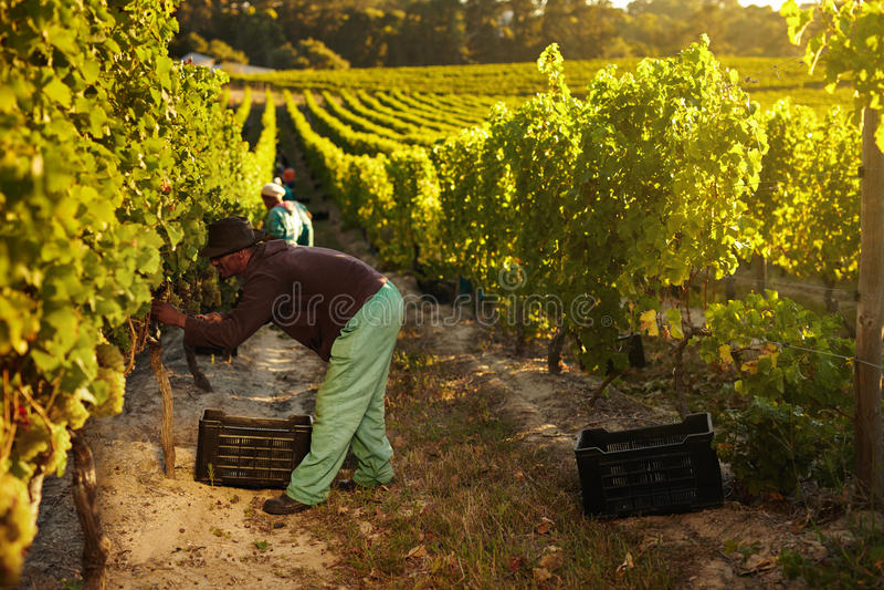 Работник жать виноградины для вина стоковые фотографии rf