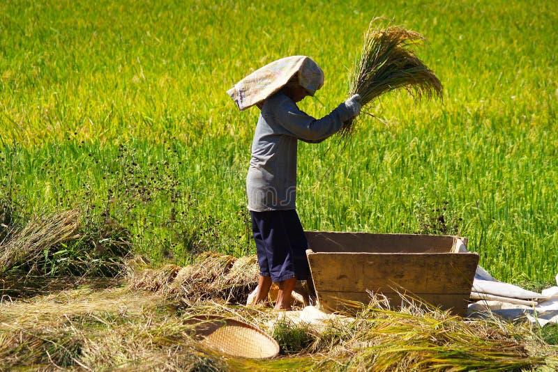Работник жать в поле риса стоковое фото