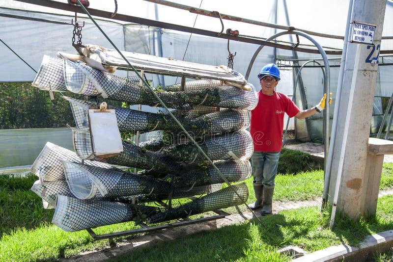 Работник на плантации Compania Ла розовой в эквадоре стоковая фотография