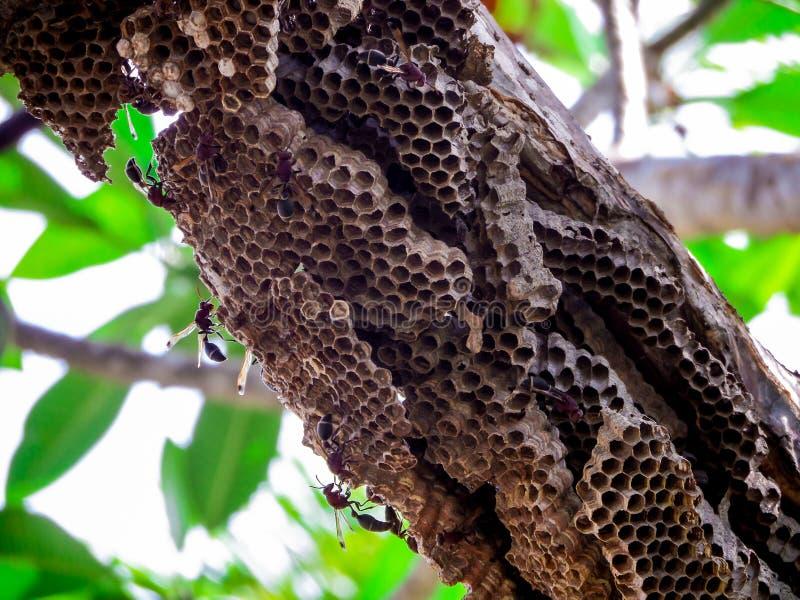 работник оси и оса крапивницы на дереве в саде стоковое изображение rf