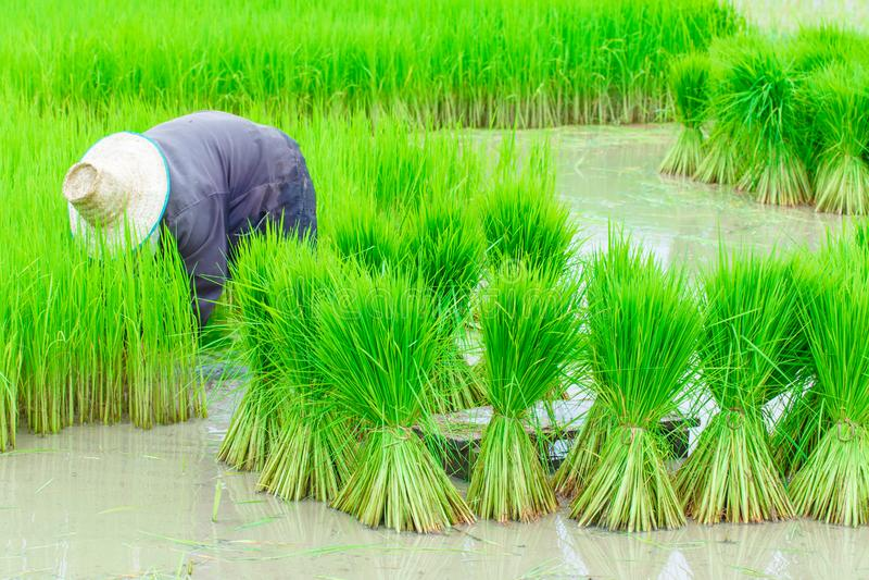 Работник полей риса стоковая фотография rf