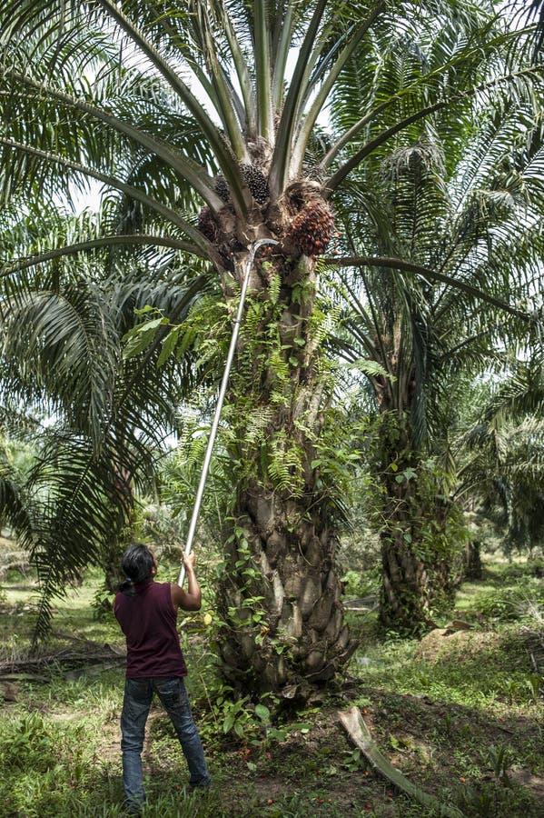 Работник плантации стоковые фотографии rf