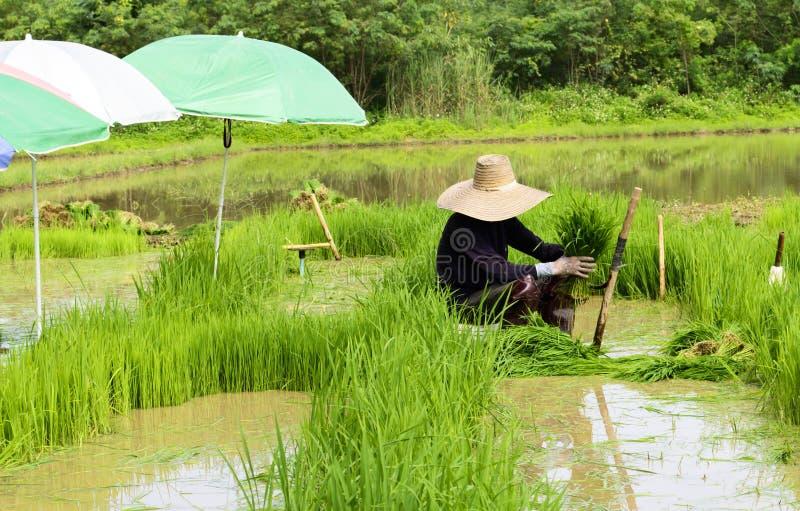 Работник человека на траве риса зеленого цвета работы фермы стоковая фотография