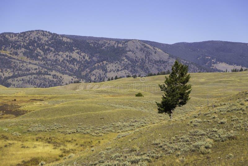 Равнины и дерево Йеллоустона стоковое фото rf
