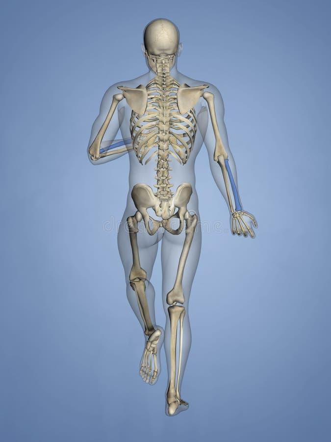 Радиус, человеческий скелет, модель 3D иллюстрация вектора