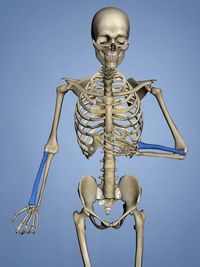 Радиус, человеческий скелет, модель 3D иллюстрация штока