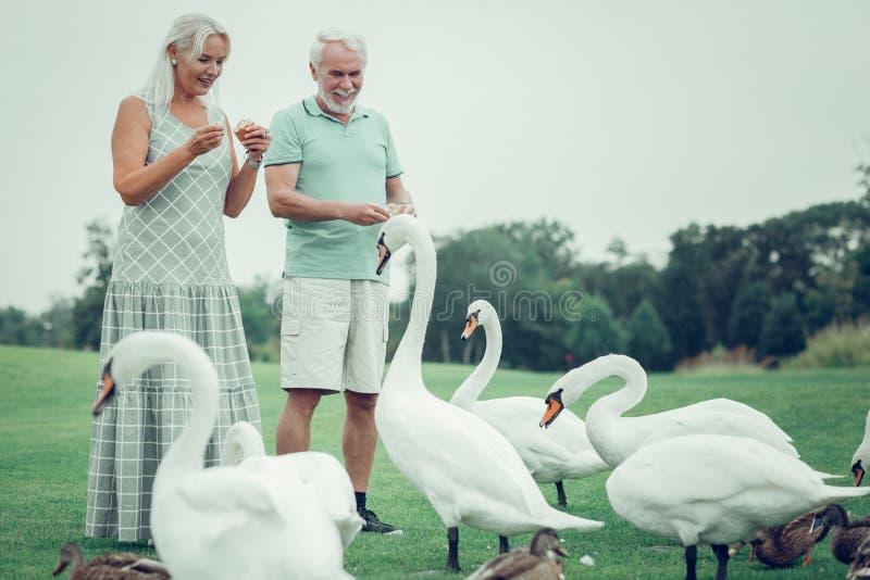 Радостные положительные достигшие возраста лебеди пар питаясь совместно стоковое фото