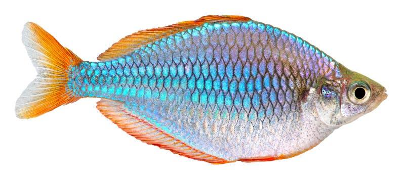 радуга неона рыб карлика стоковые фотографии rf
