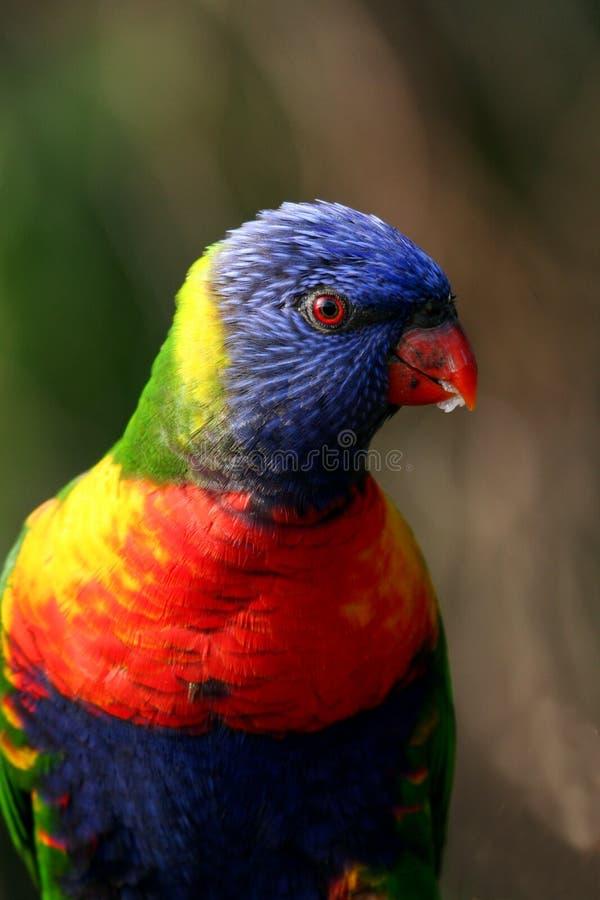 радуга lorikeet птицы стоковое фото rf