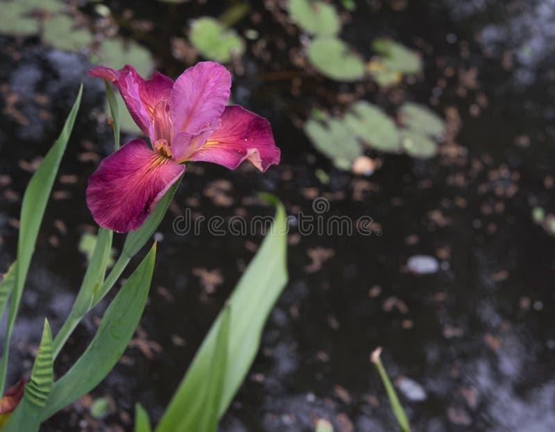 Радужка красного цвета розы стоковые изображения rf