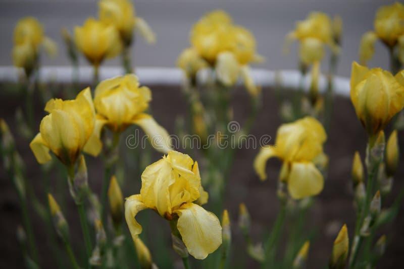 Радужка цветет крупный план стоковая фотография