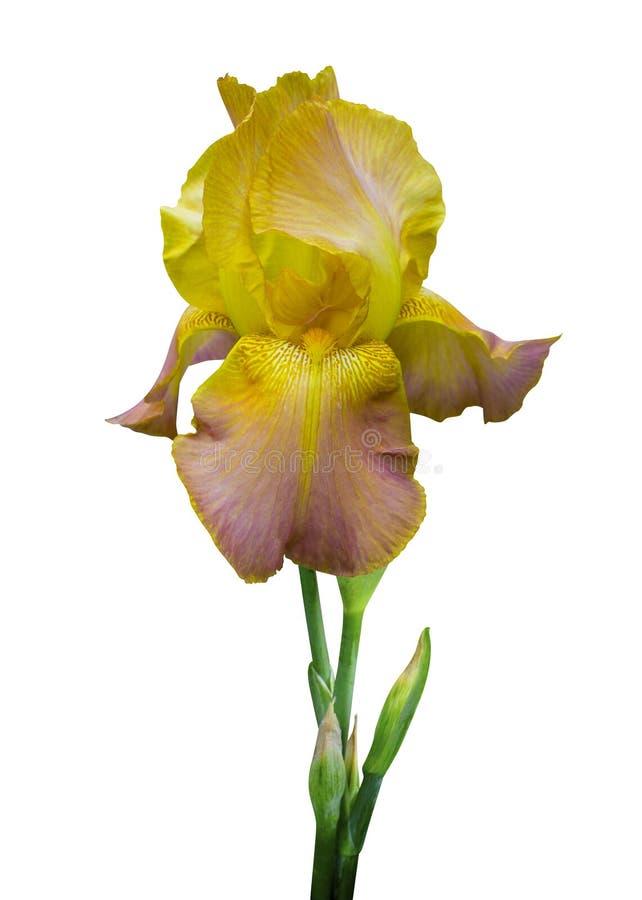Радужка цветка желтая изолированная на белой предпосылке стоковые фотографии rf