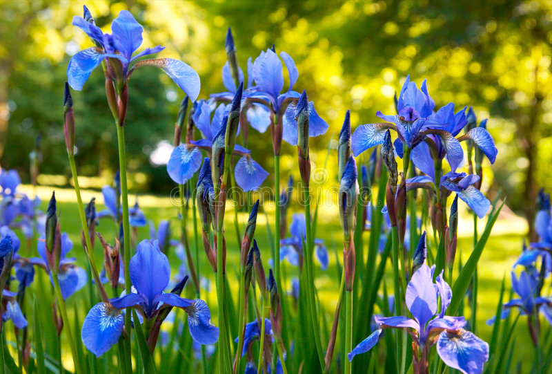 радужка цветков стоковые фотографии rf
