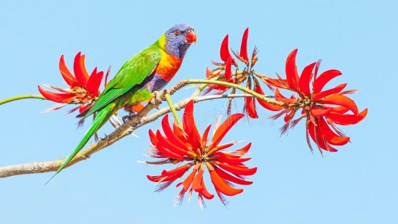 Радужный Лорикет на коралловом дереве стоковая фотография rf