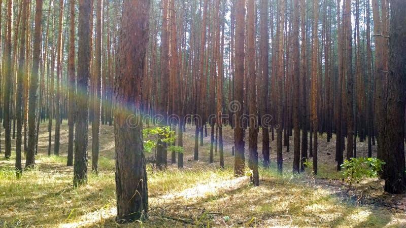 Радужный луч в древесине стоковое изображение