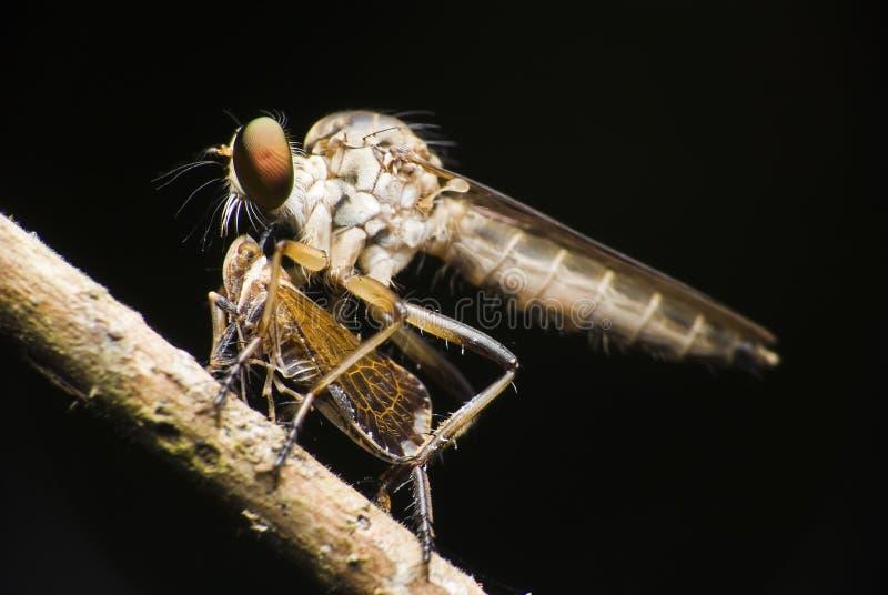 разбойник prey мухы стоковое фото
