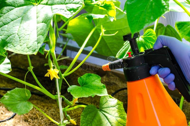Разбрызгивание растительных растений от болезней и вредителей стоковые фотографии rf
