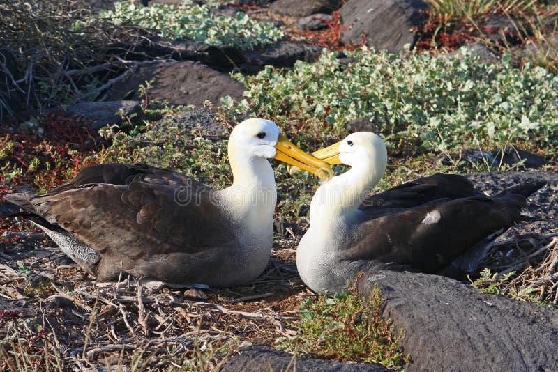 развевали альбатрос, котор стоковая фотография rf