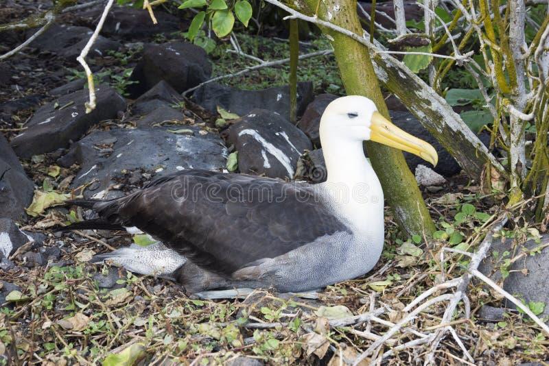 Развевали вложенность альбатроса около леса стоковые фото