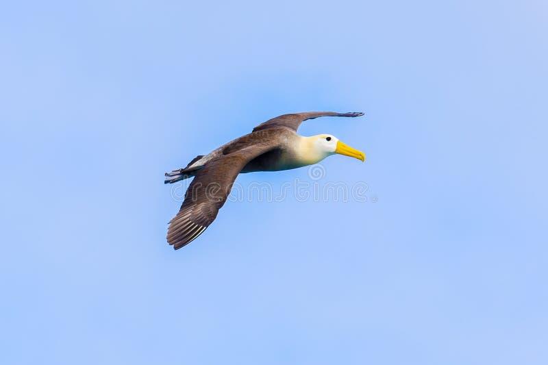 Развевали летание альбатроса в Галапагос стоковые фото