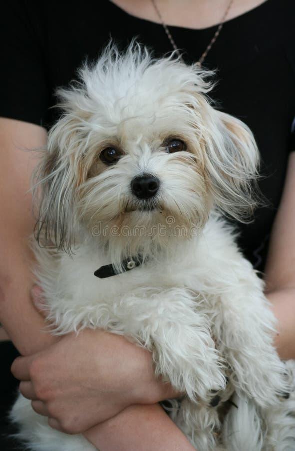 разведите белизну Украины odis odessa ideal собаки домашним заново зарегистрированную портретом малую стоковая фотография