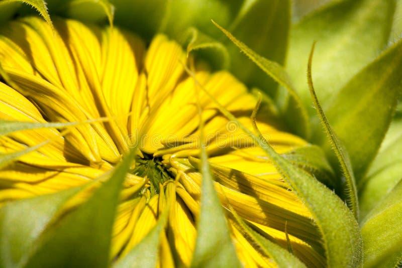 Развертывать цветене солнцецвета стоковая фотография