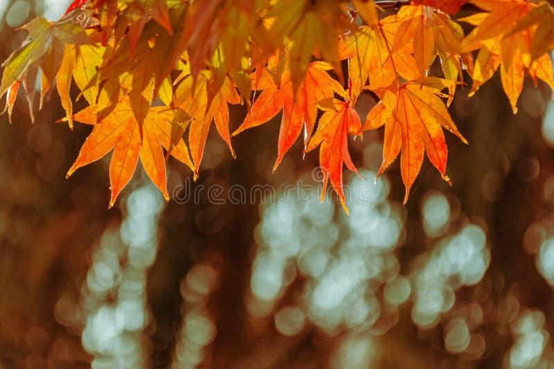Разветвите при желтые кленовые листы, освещенные по солнцу против предпосылки расплывчатых деревьев стоковое фото