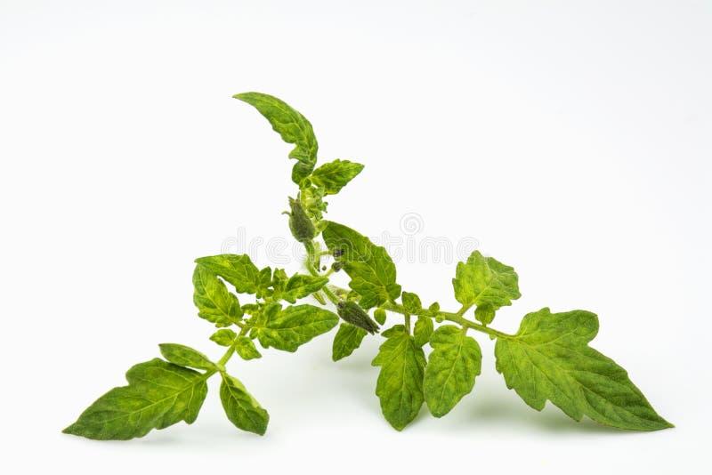 Разветвите с в florescence и листьями vegetable томата культуры стоковая фотография