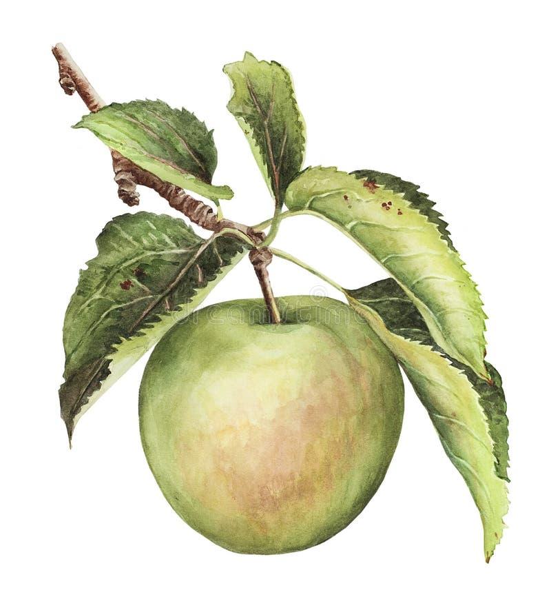 Разветвите с зеленым яблоком и листьями стоковое изображение rf