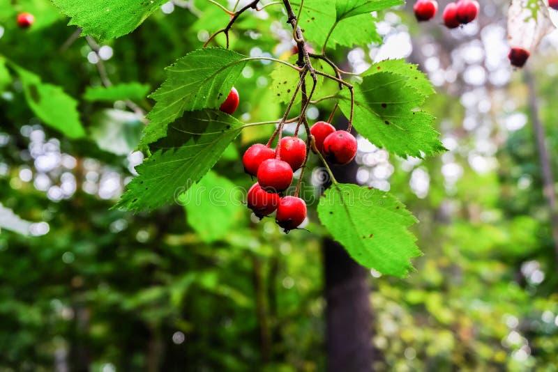 Разветвите с зрелыми красными ягодами боярышника на запачканной предпосылке стоковое фото