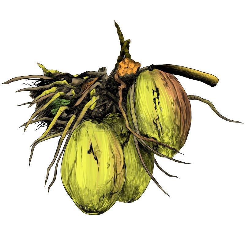 Разветвите с 3 кокосами иллюстрация штока