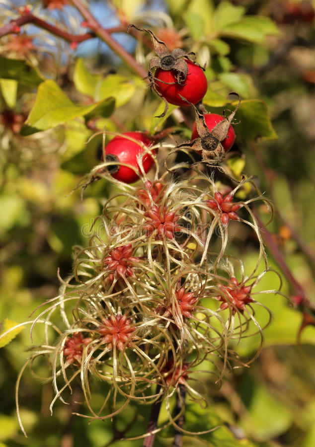 Разветвите с ягодами стоковые фото