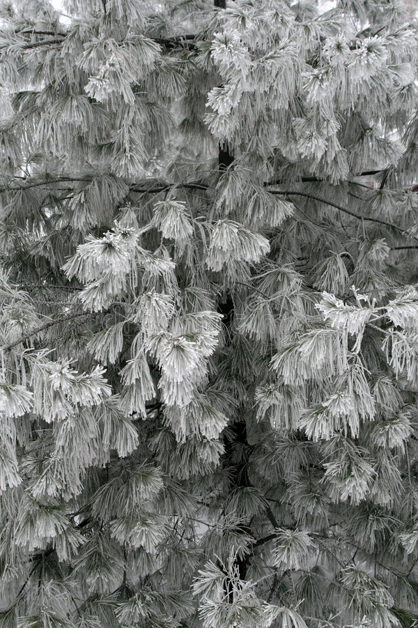 разветвляет морозная сосенка стоковая фотография rf