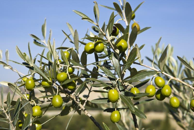 разветвляет оливка s стоковое изображение rf