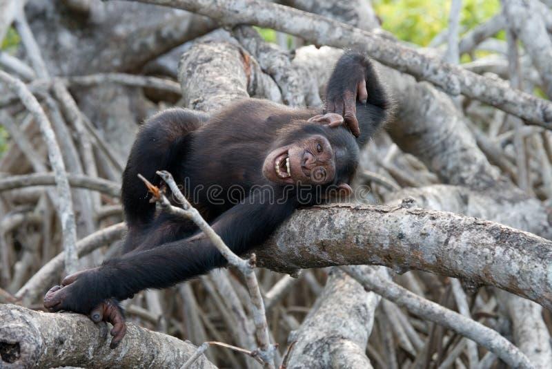 разветвляет мангрова шимпанзеа Республика Конго Запас Conkouati-Douli стоковые фото