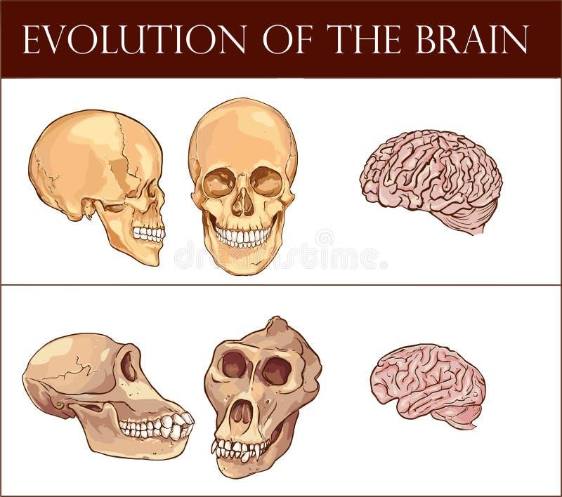 Развитие иллюстрации вектора мозга иллюстрация штока