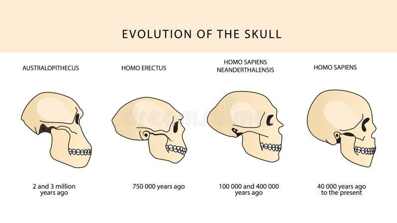 Развитие черепа людской череп australasian бесплатная иллюстрация