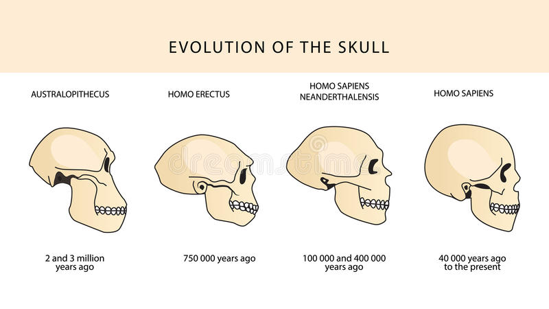 Развитие черепа людской череп australasian иллюстрация вектора