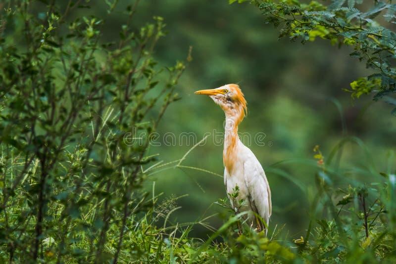 разводить plumage egret скотин стоковые фото