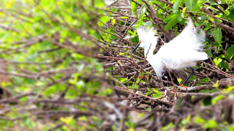 разводящ plumage egret снежный стоковая фотография rf
