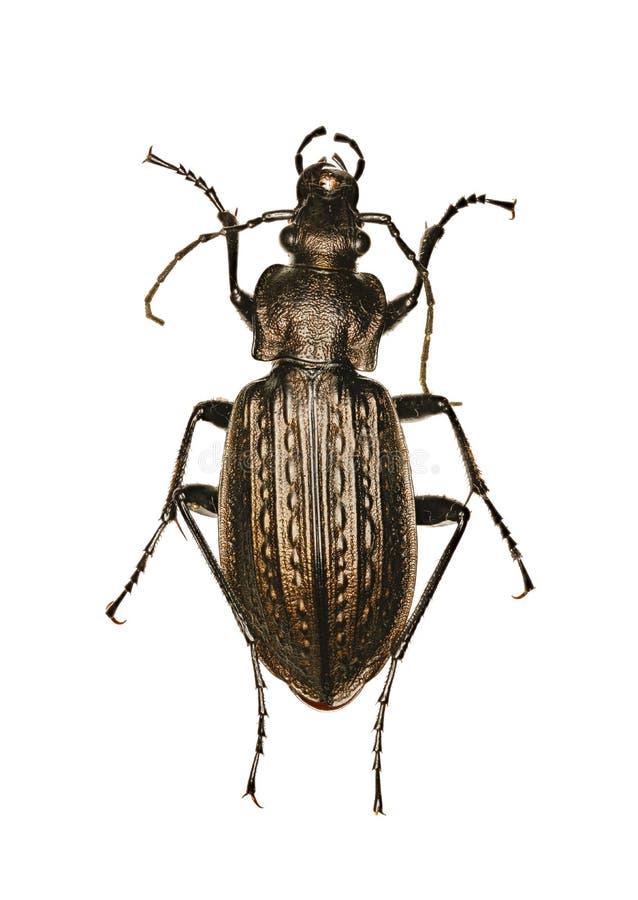 Раздробленный земной жук на белой предпосылке стоковые фотографии rf