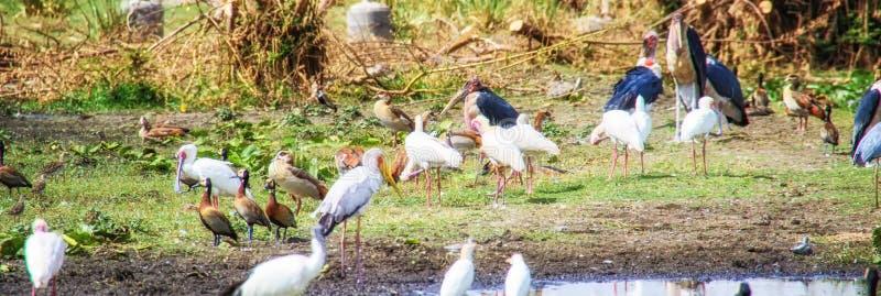 Различные большие птицы на берегах озера Awassa, Эфиопии стоковая фотография rf